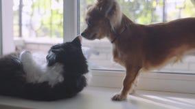 Gato y perro Perro de la chihuahua y gato mullido en el travesaño de la ventana en hogar metrajes