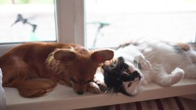 Gato y perro Perro de la chihuahua y gato mullido en el travesaño de la ventana en hogar almacen de video