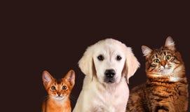 Gato y perro, gatito abisinio, golden retriever Foto de archivo libre de regalías