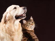 Gato y perro, gatito siberiano, golden retriever fotos de archivo
