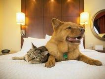 Gato y perro junto en dormitorio del hotel Foto de archivo libre de regalías