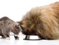 Gato y perro que comen junto Aislado en el fondo blanco Imágenes de archivo libres de regalías