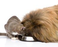 Gato y perro que comen junto Aislado en el fondo blanco Imagenes de archivo