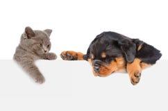 Gato y perro que miran a escondidas de detrás el tablero vacío que mira abajo Isolat Imagen de archivo libre de regalías
