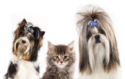 Gato y perros Imagen de archivo