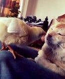 Gato y pollo, amigo precioso Foto de archivo libre de regalías