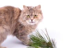 Gato y ramificación del pino Fotos de archivo libres de regalías