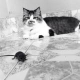 Gato y rata Fotografía de archivo libre de regalías