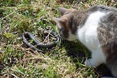 Gato y serpiente Fotografía de archivo