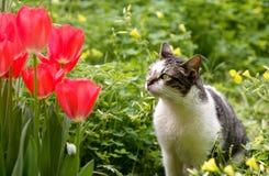 Gato y tulipanes Imagen de archivo libre de regalías