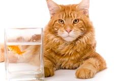 Gato y un pescado del oro Foto de archivo libre de regalías