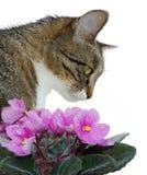 Gato y violetas Imagen de archivo libre de regalías