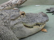 gator της Φλώριδας Στοκ Εικόνες