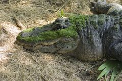 Gator Royalty Free Stock Image