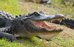 Free Gator Royalty Free Stock Photo - 11169585