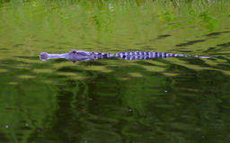 佛罗里达gator 免版税库存图片