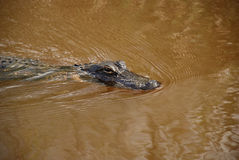 Gator Foto de Stock Royalty Free