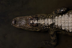 Gator Stock Photography