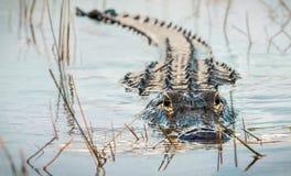 Gator!!! royalty-vrije stock fotografie