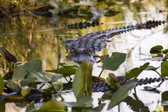 Gator Royalty Free Stock Photography