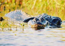 Gator Stock Images