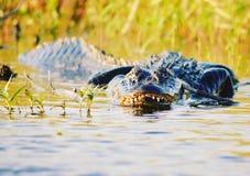 Gator Stock Images