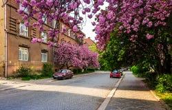 Gator av Uzhgorod i körsbärsröd blomning Royaltyfri Foto