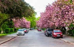 Gator av Uzhgorod i körsbärsröd blomning Royaltyfria Foton