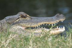 Gator Basking στον ήλιο στοκ εικόνες