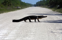 Gator Crossing Royalty Free Stock Images