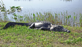 Gator de descanso Foto de Stock Royalty Free
