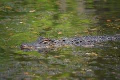 Gator die de Moeraswateren van Bayou van Louisiane met een sleeplijn vissen stock foto's