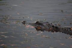 Gator die zich door het Water in Barataria-Domein in Louisiane bewegen royalty-vrije stock foto's