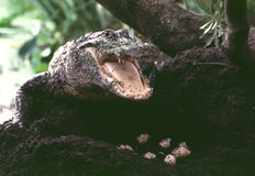 Gator and eggs Stock Photos