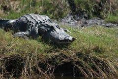 gator florida Стоковая Фотография