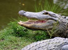 Gator Grin Royalty Free Stock Images