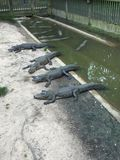 Gator Group In The Canal. Sunbathing Royalty Free Stock Image