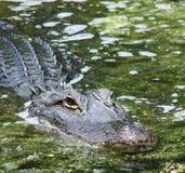 Gator hiding Stock Photo