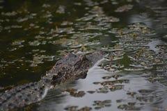 Gator met Zijn Hoofd boven het Water in Louisiane stock foto's