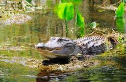 Gator in moeras royalty-vrije stock fotografie