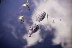 Gator partially submerged, clouds. Stock Photos