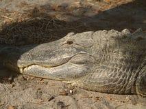 Gator pigro Fotografie Stock