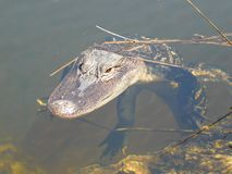 Gator in the pond, Alligator mississippiensis, Florida USA royalty free stock image