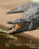 Gator with reflection. Gator is sunning with his mouth open reflecting in the water Royalty Free Stock Photography