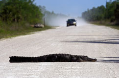 Gator Roadblock Royalty Free Stock Photo