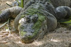 Gator in the swamp Stock Image