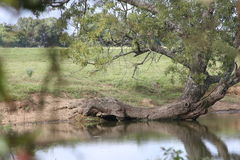 Gator Tree. This tree is in Yantis Texas at a small pond. It looks like it is crawling into the water Royalty Free Stock Photos