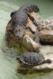 Gator and Turtle. A gator and turtle napping in the summer heat in Orlando, Florida Stock Photo