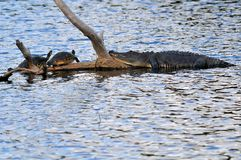A Gator & Two Turtles Royalty Free Stock Photo
