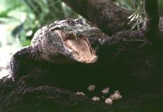 Gator und Eier Stockfotos